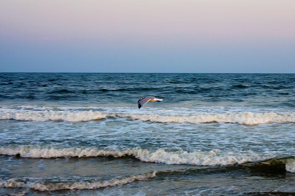 seagull, Atlantic