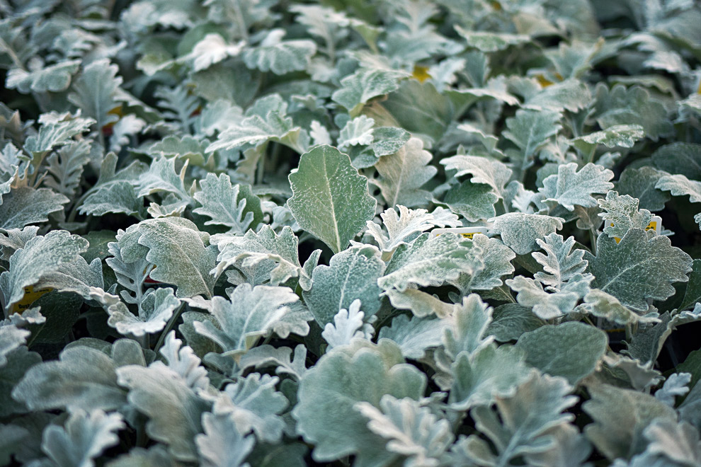 There Is A Plant Called Dusty Miller