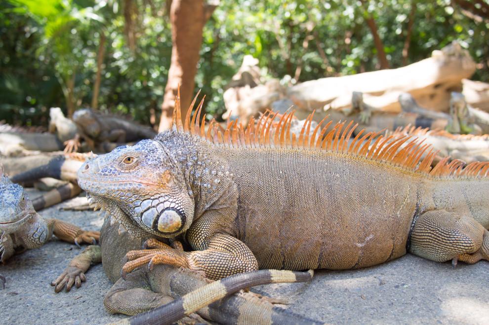 (imagine an iguana)