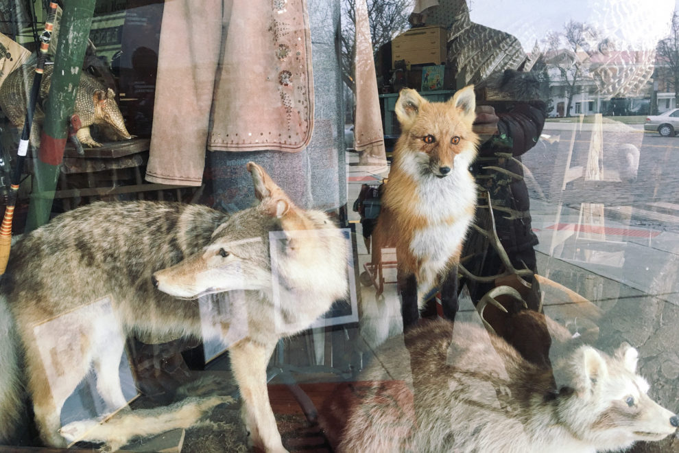 Taxidermy fox reflection