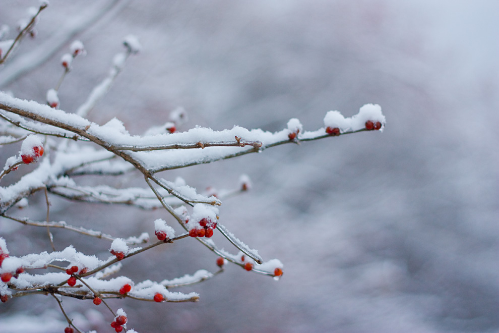 snow branches berry