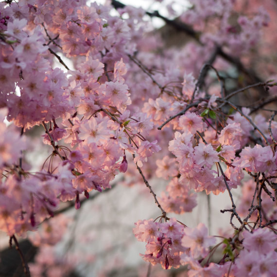 A tree in spring bloom with pink flowers