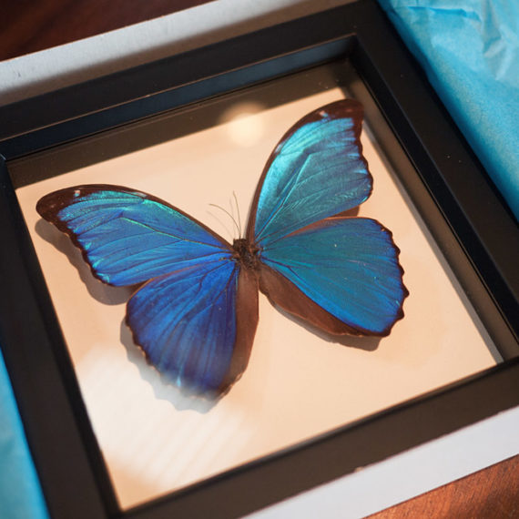 A blue butterfly preserved under glass