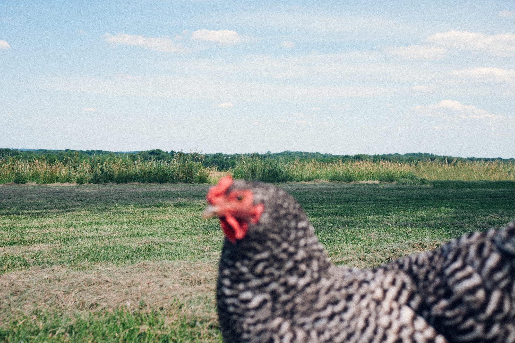 chicken blur