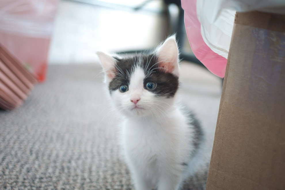 A gray and white kitten