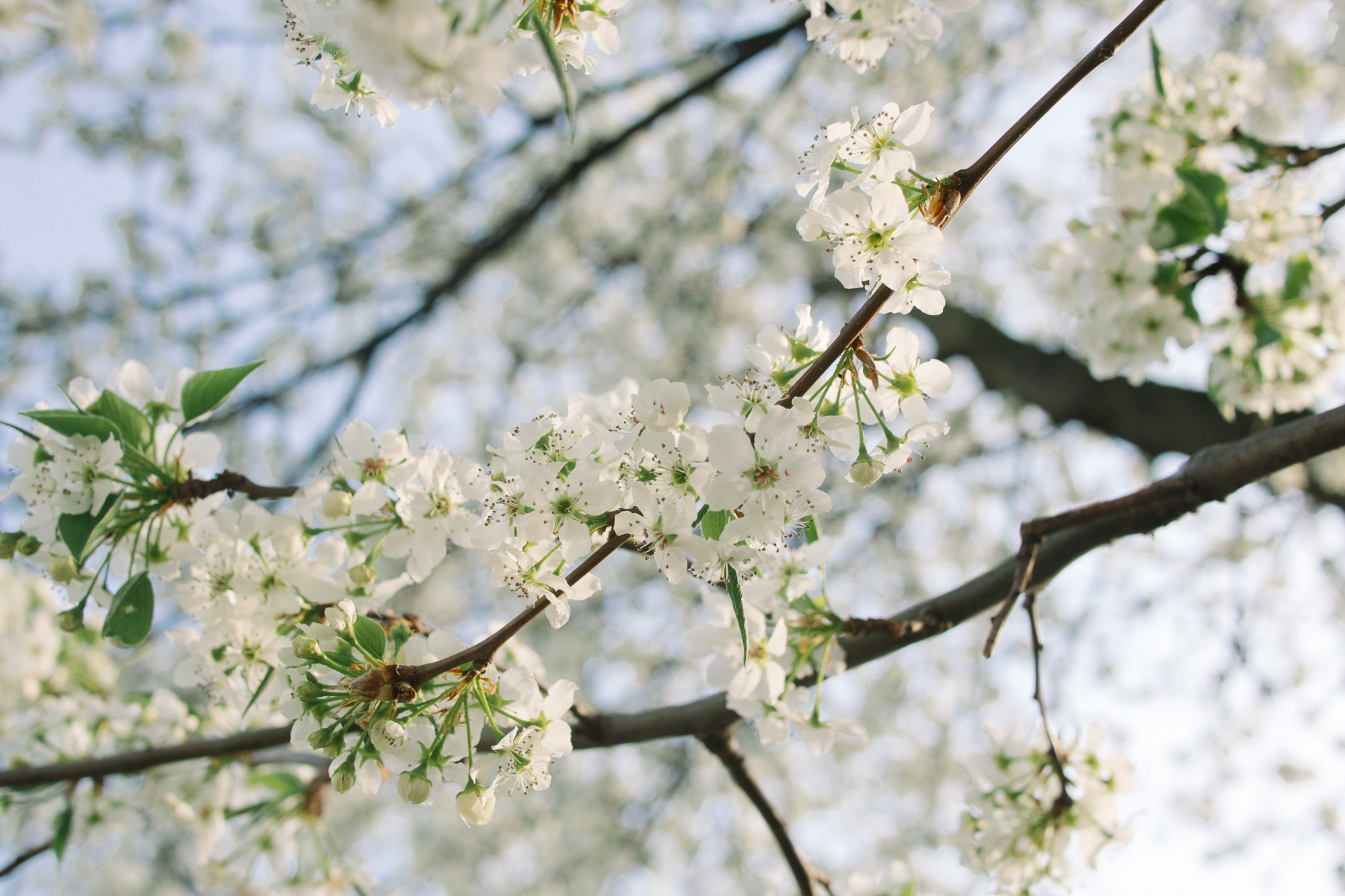 Blooming white flowers on a tree in spring