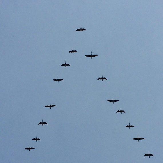 Flying birds in V formation