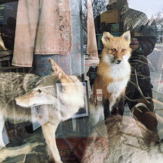 Taxidermy foxes in a display window