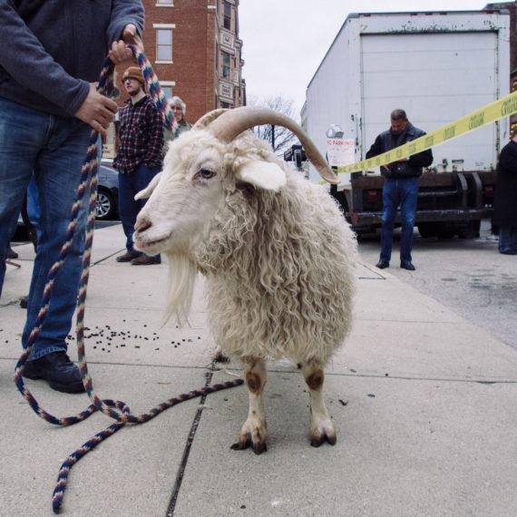 bockfest goat