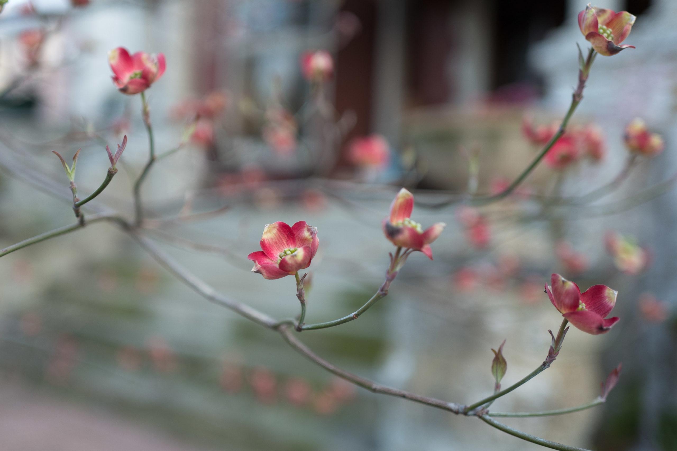Dogwood tree in blooom