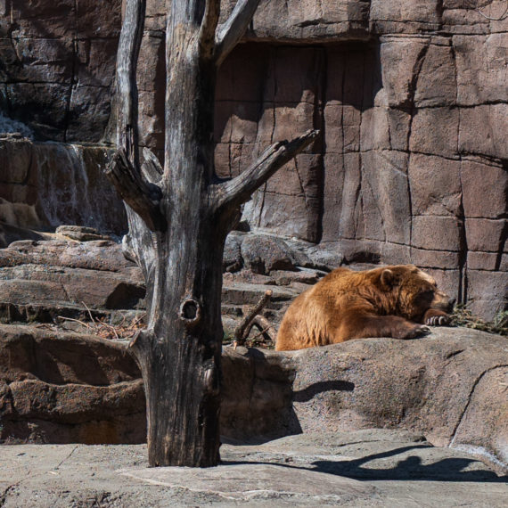 A bear, lazy on a rock at a Zoo