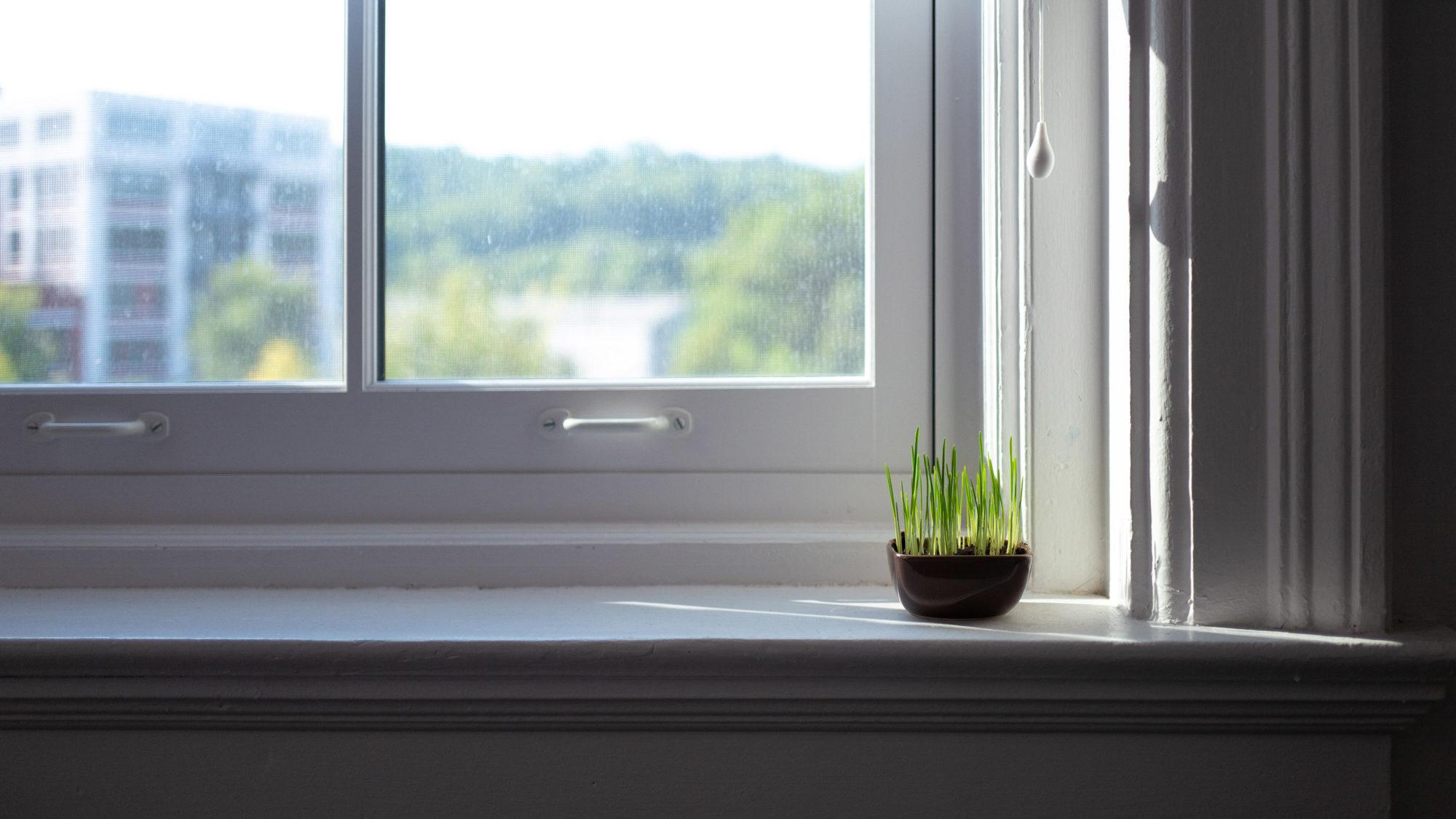 cat grass on window sill in sunlight