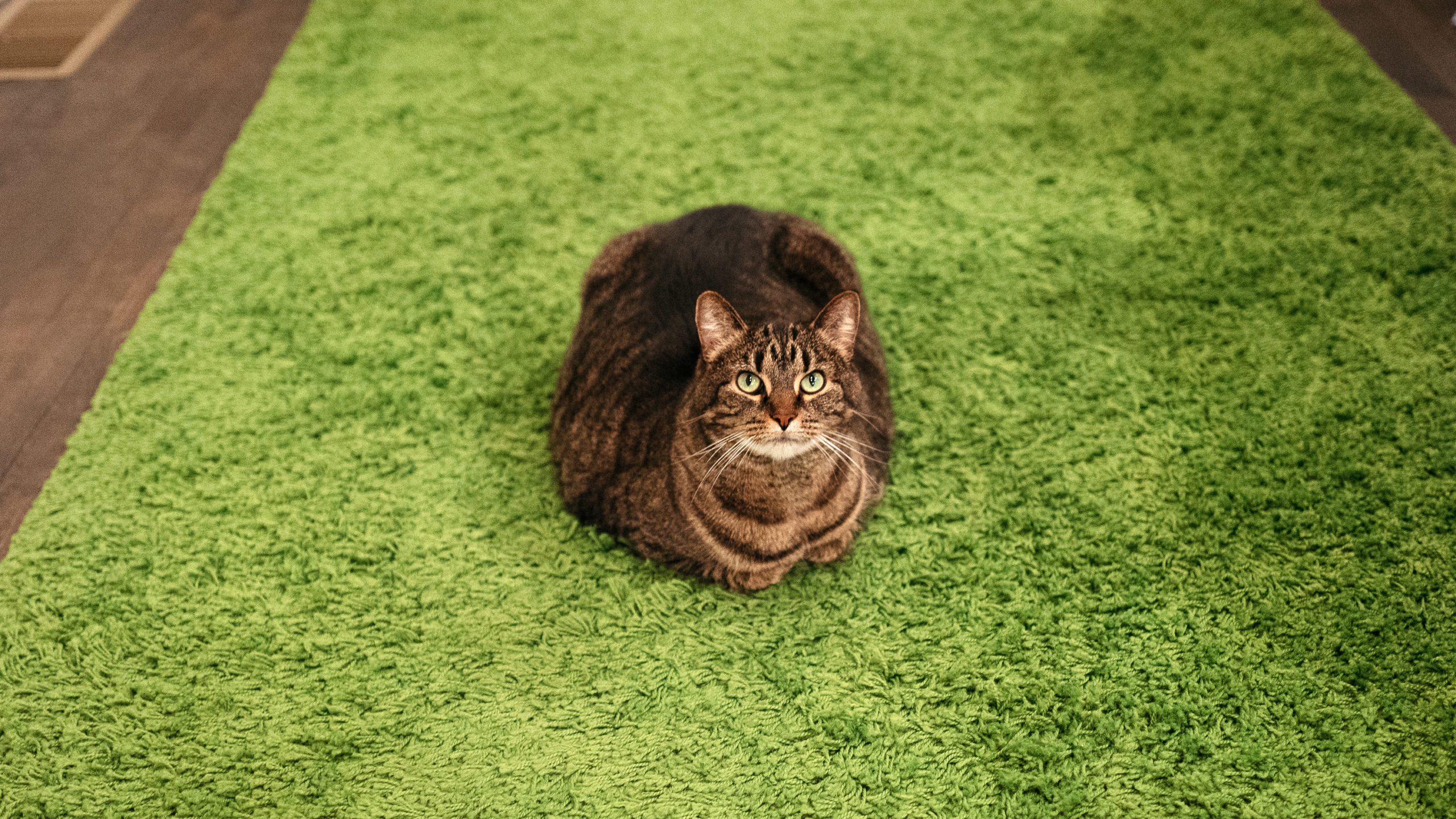 Loaf of cat on green rug