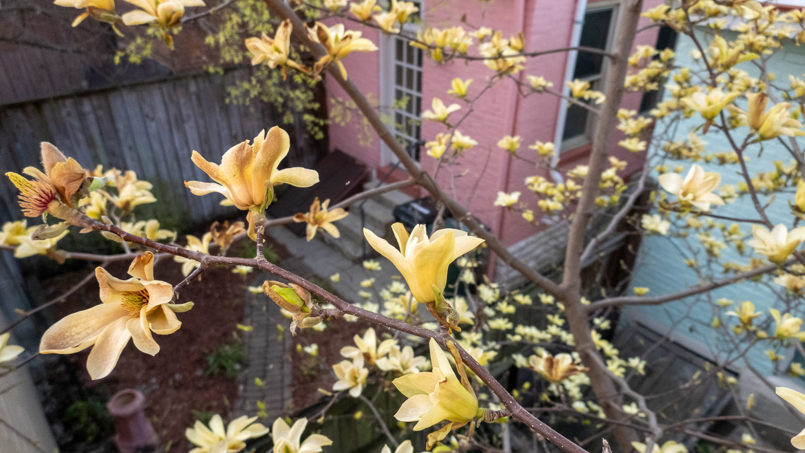 Yellow magnolia blooms against a pink house