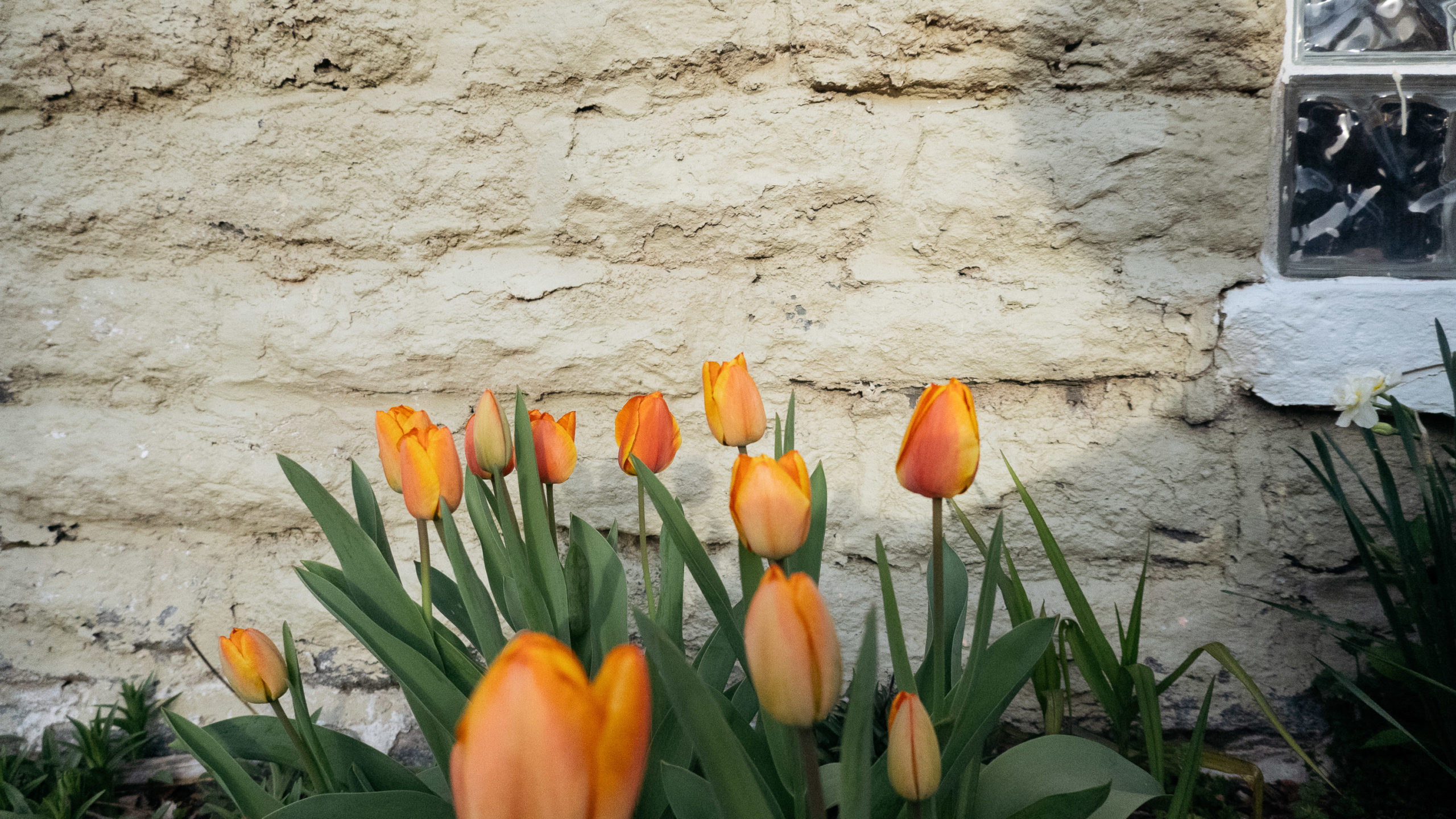 Orange tulips against a cement wall