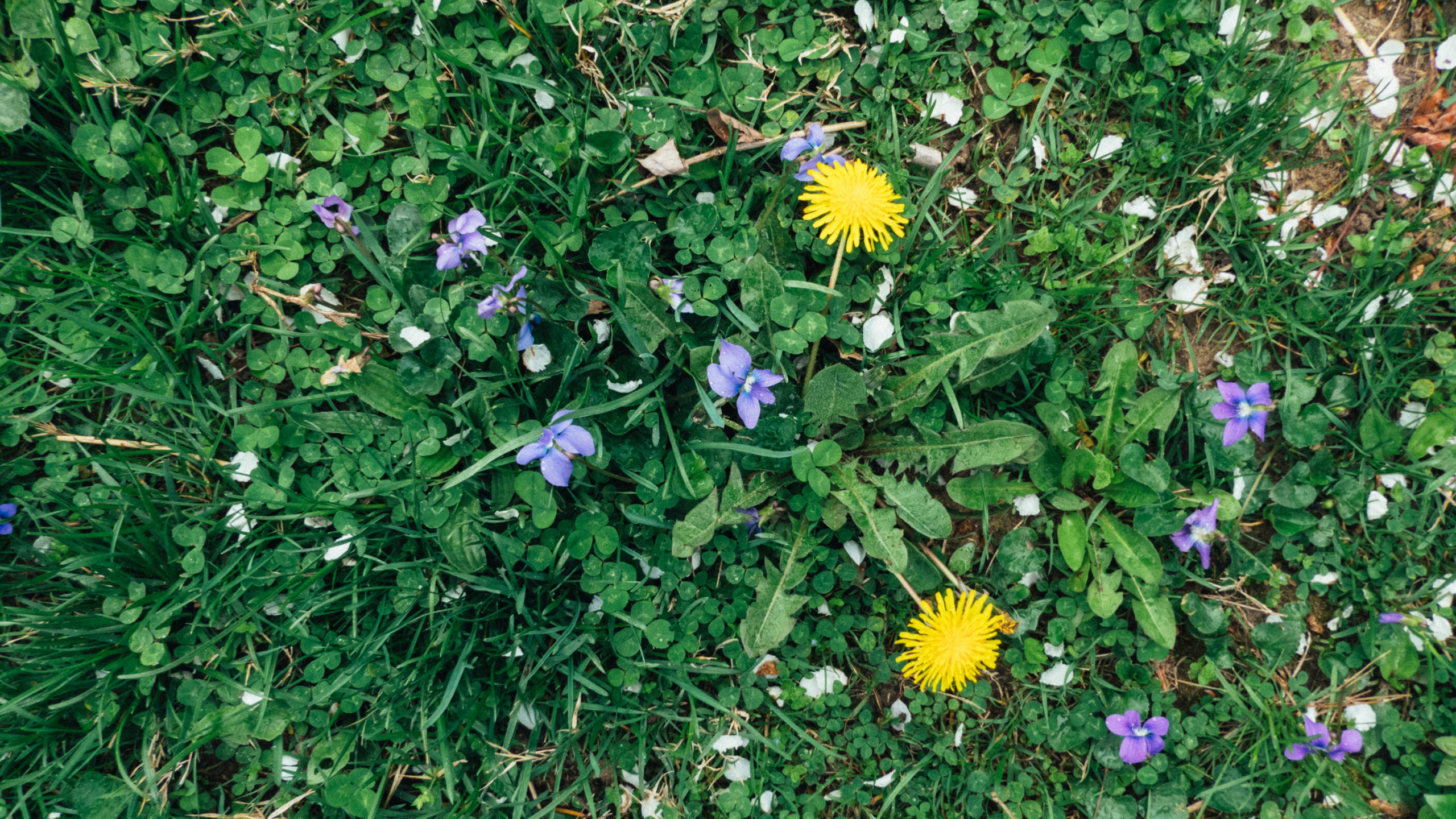 Dandelions and Violets