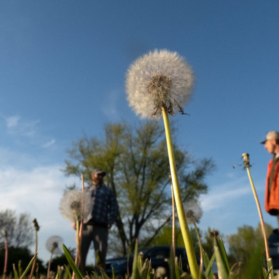 Ground level photo under a dandelion with two figures blurred in the background