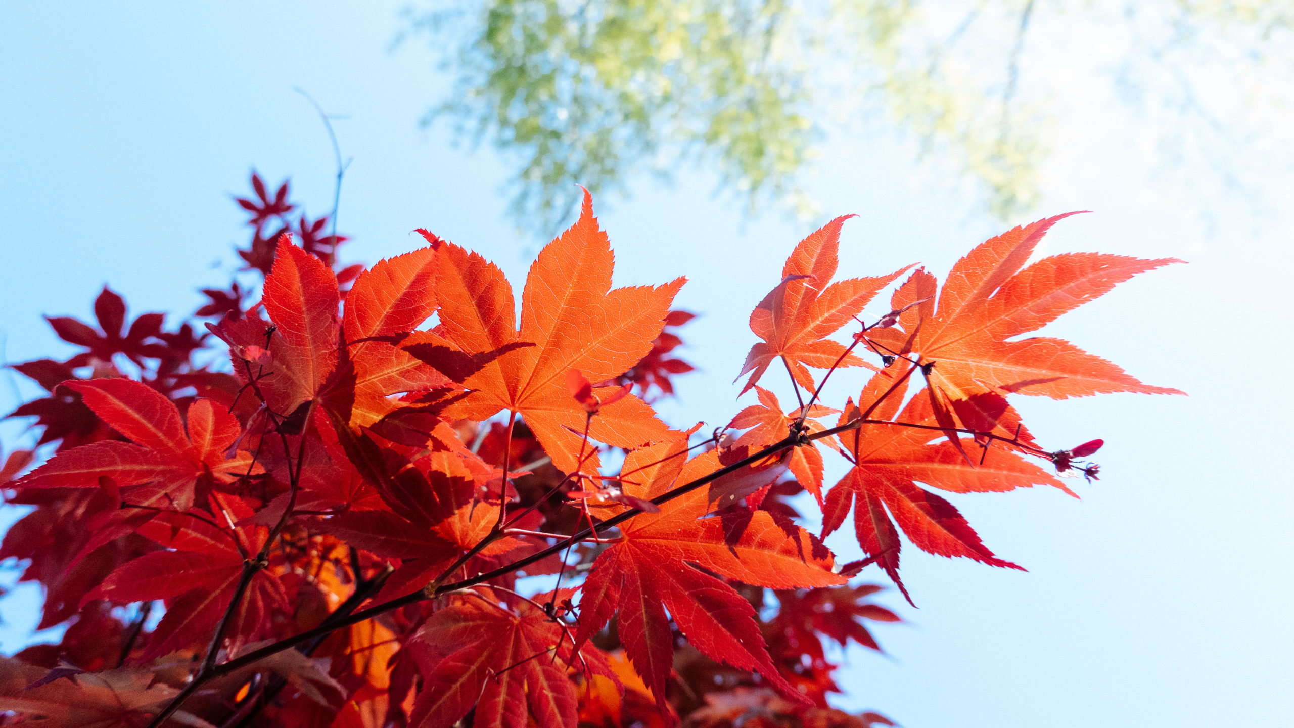 A Japanese Maple lit from the sun, photographed below the leaves