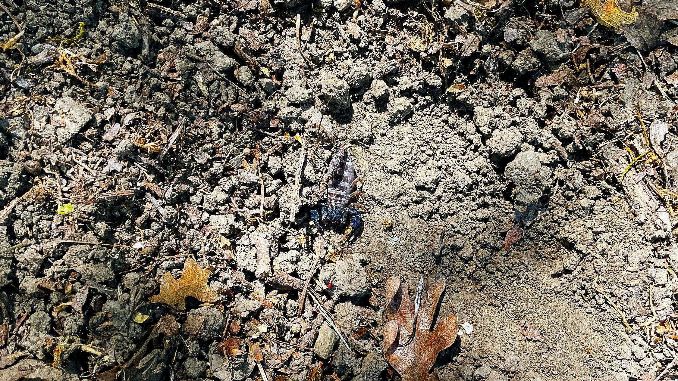 Scorpion on a dirt path