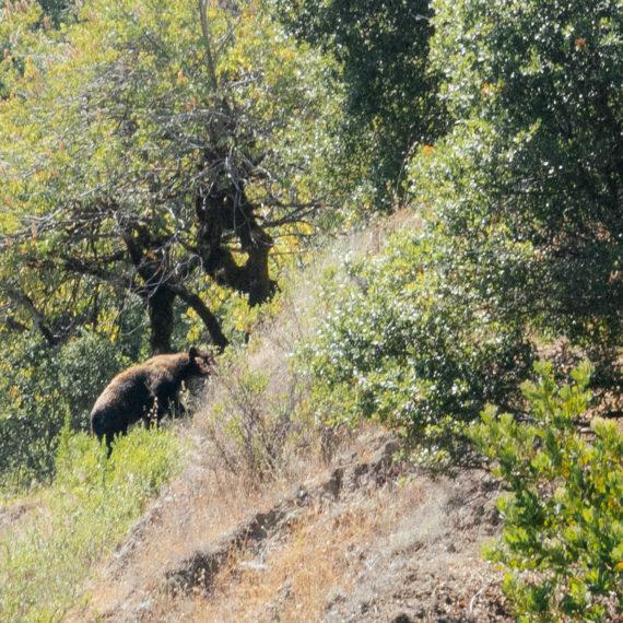 Bear on hillside
