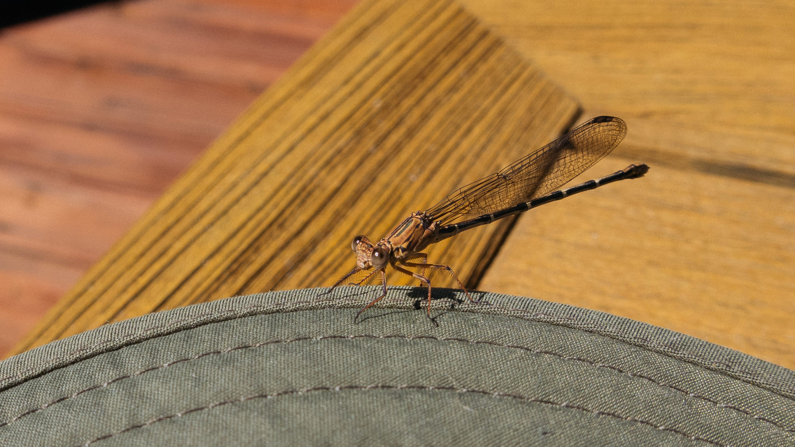 A dragonfly resting briefly on the wide brim of a green hat