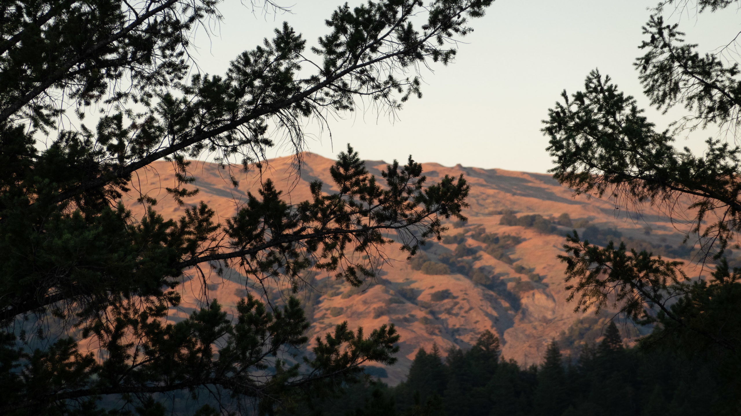 Pinkish light washes over a mountain hillside in the distance of two fir trees