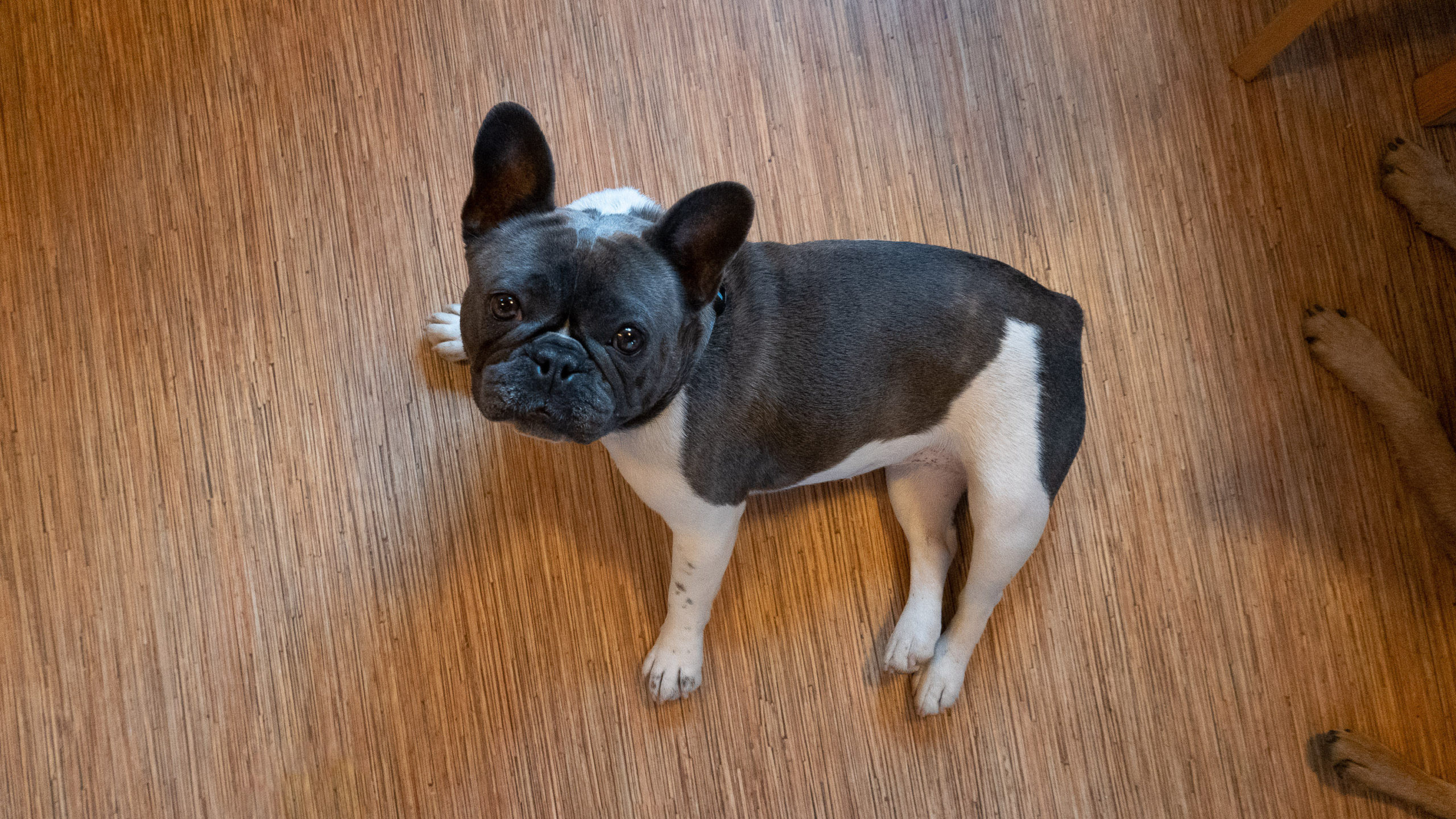 A french bulldog looks up from vinyl flooring with a bamboo grain