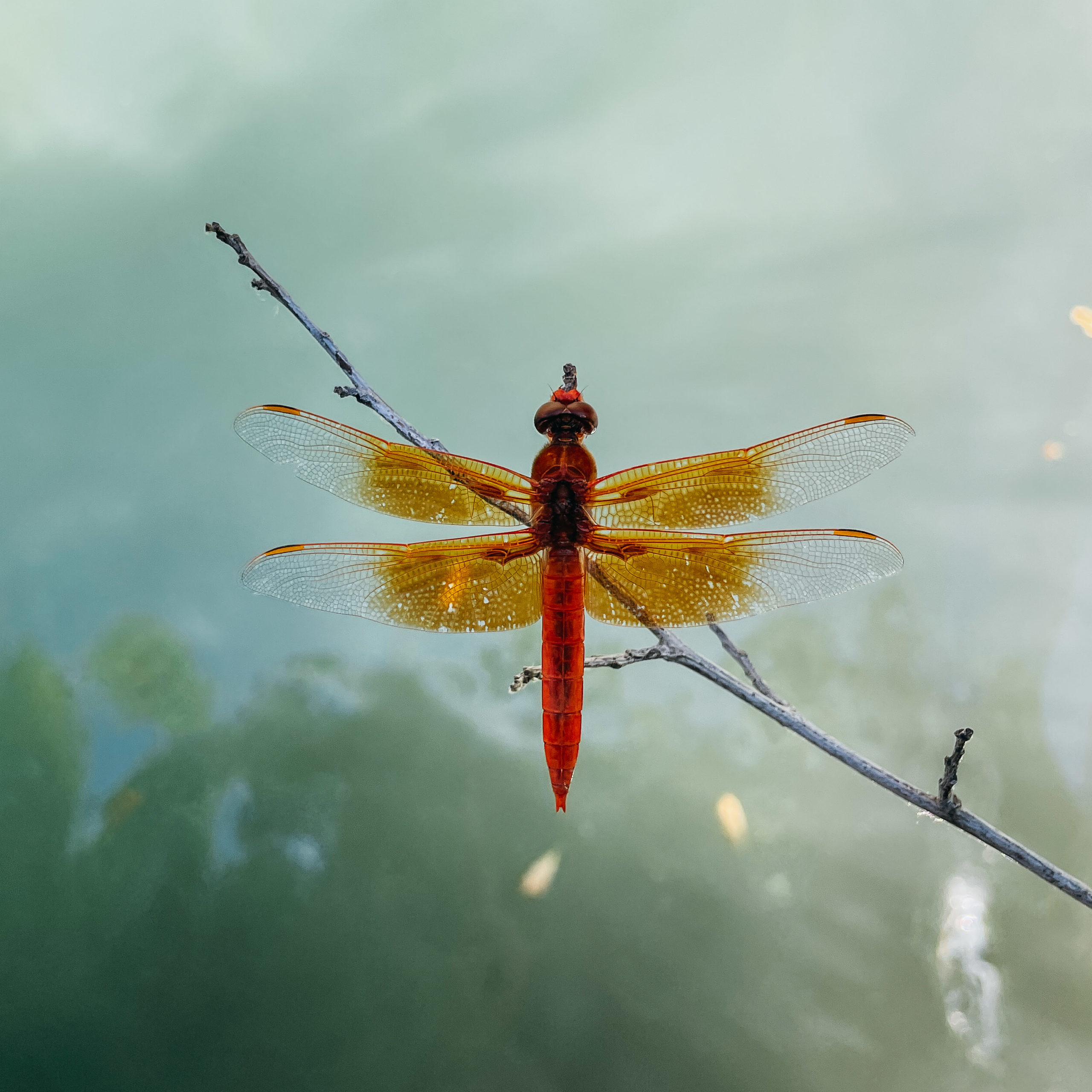 A red orange dragonfly