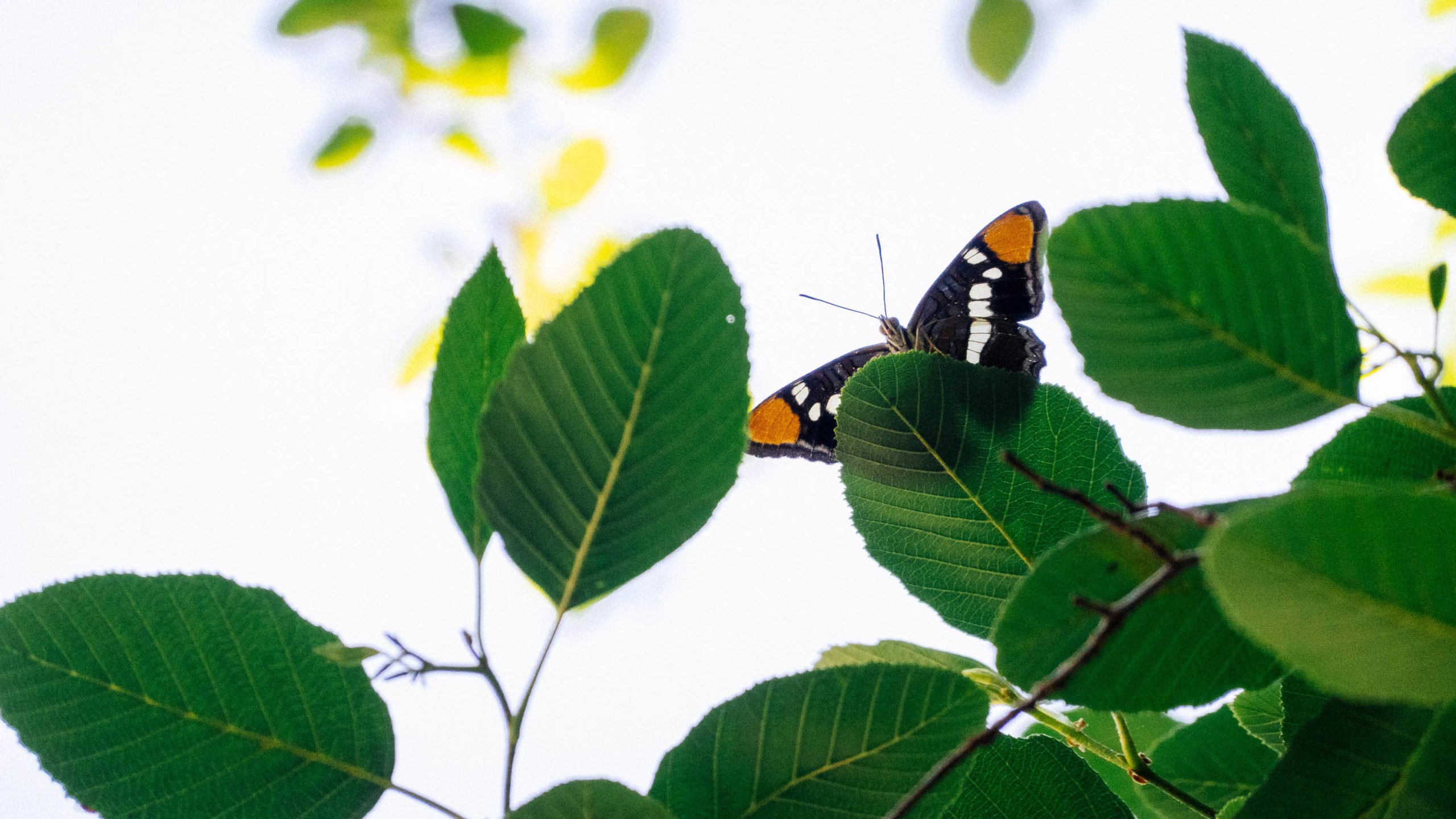 a butterfly rests on a backlit leaf of a tree