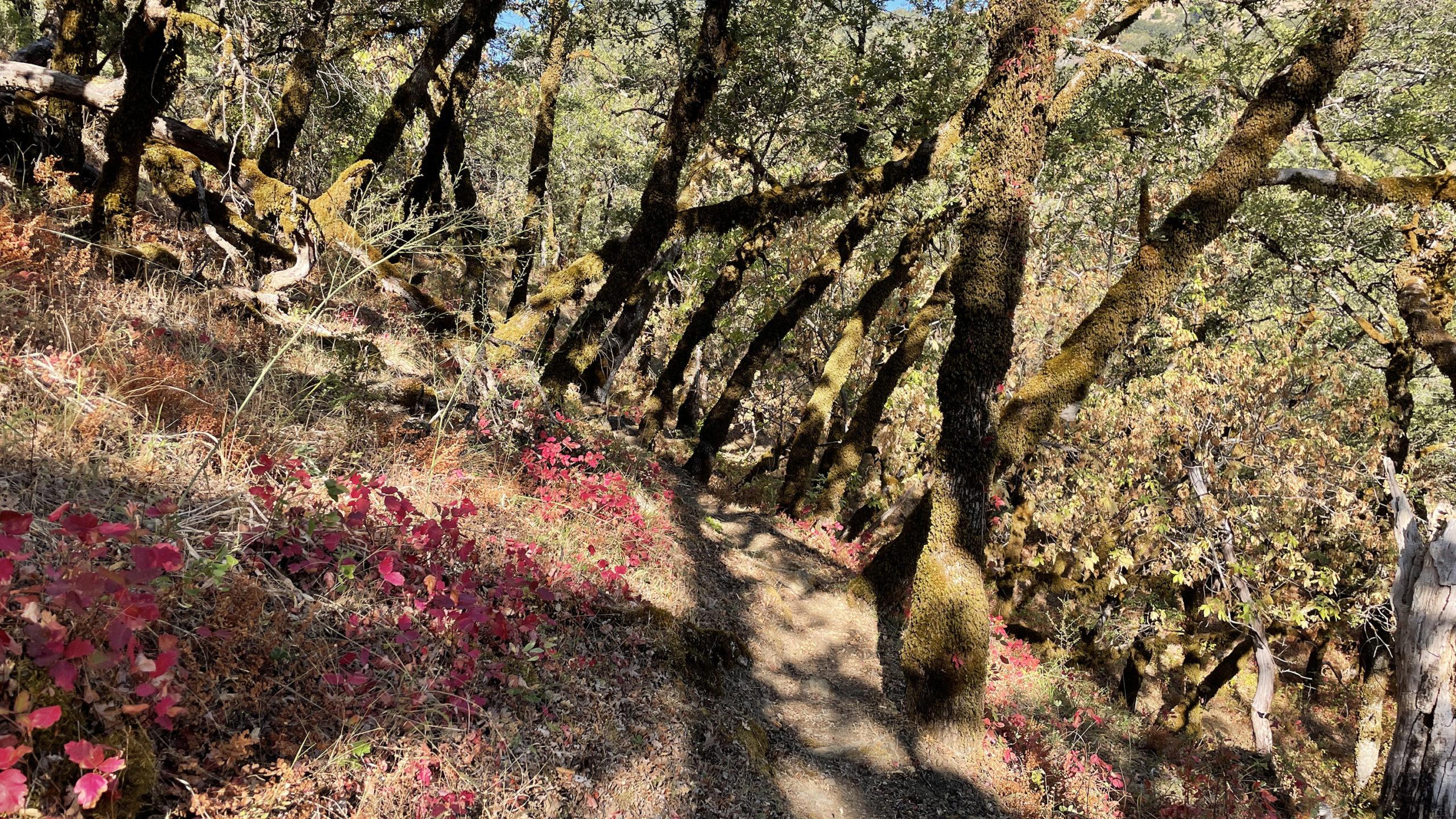 Poison oak dots a hiking path