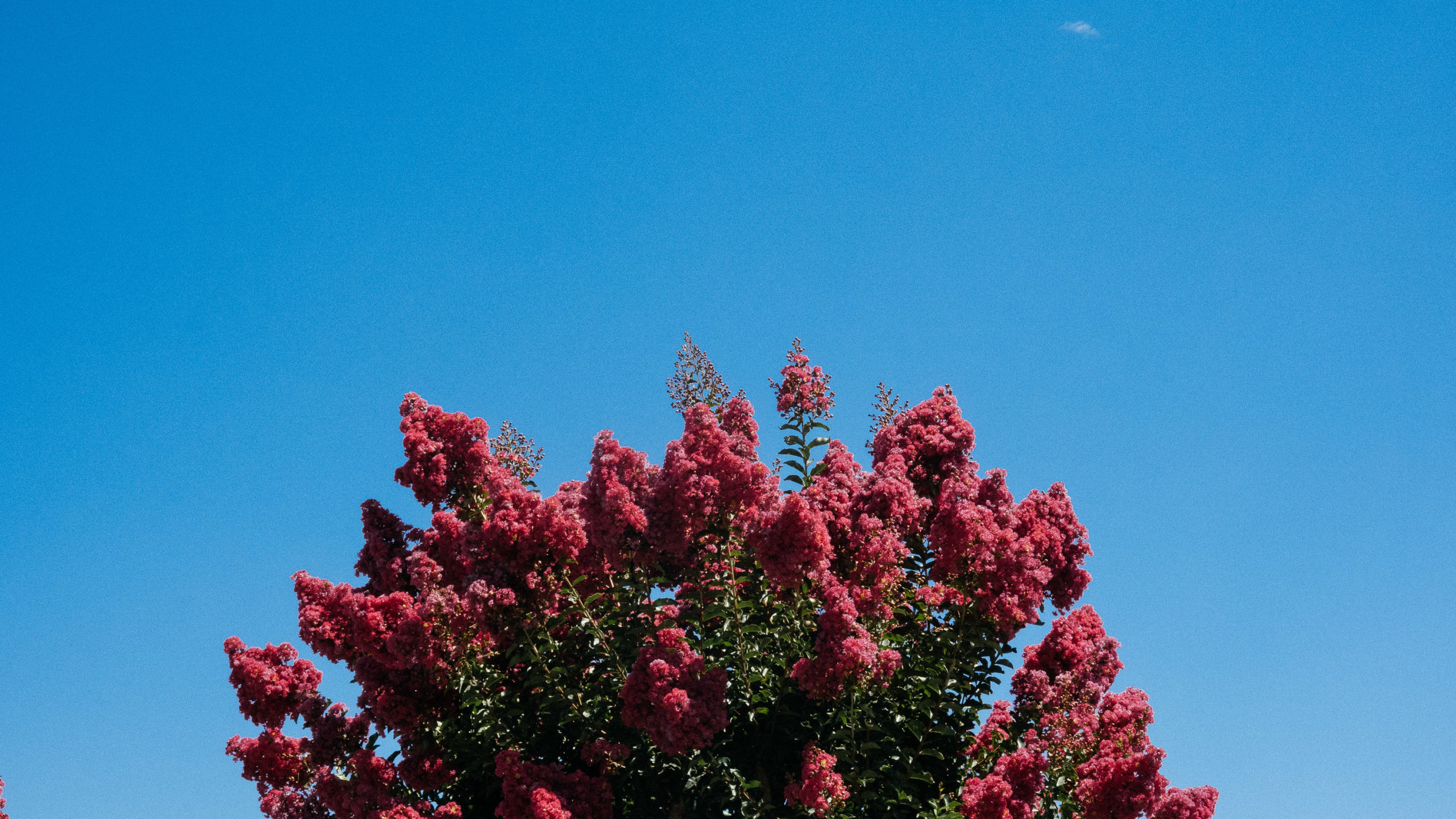Red trees in bloom in California by the side of an In & Out Burger drive-thru