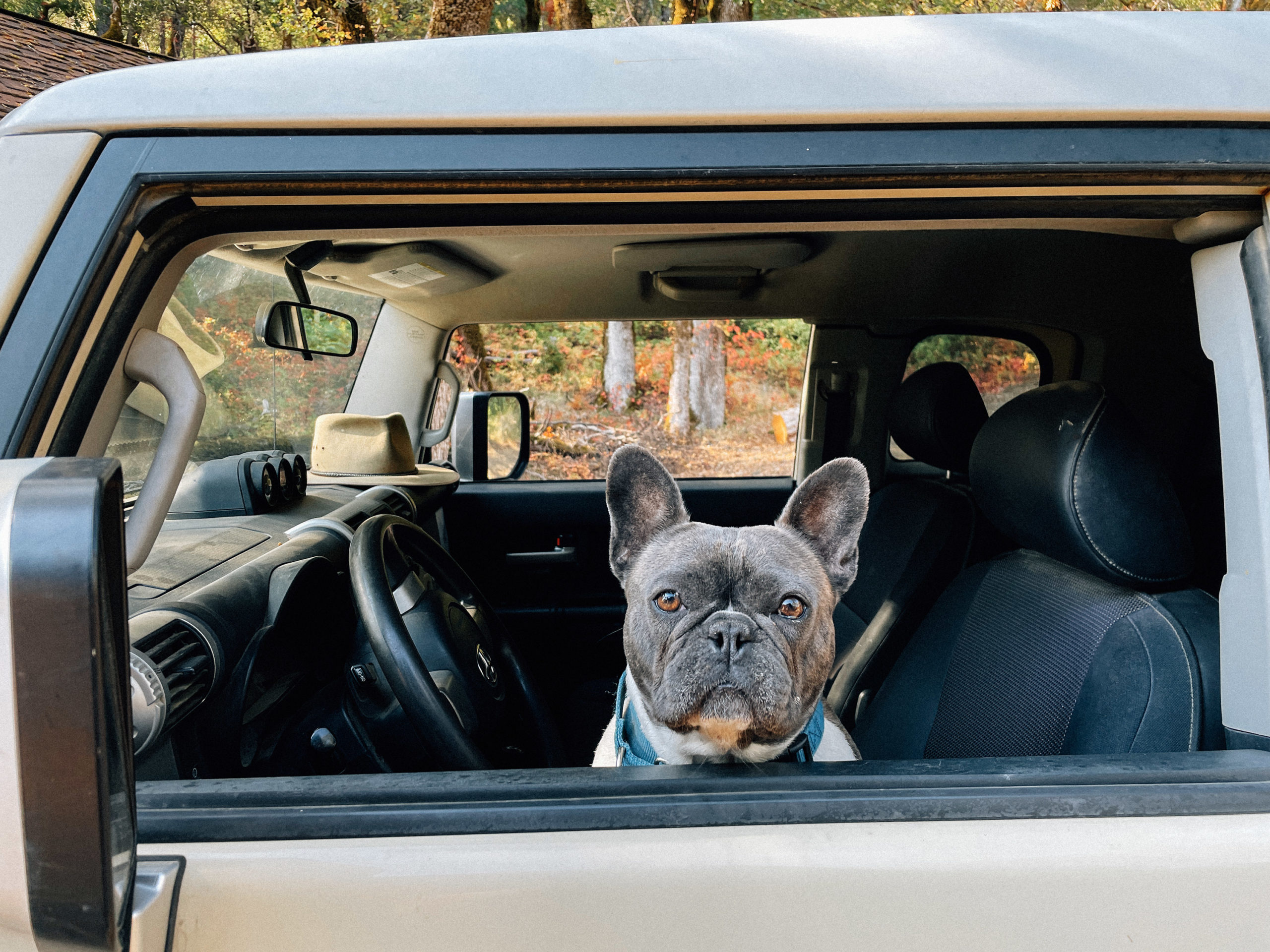 A french bulldog sits in the driver seat looking out the window