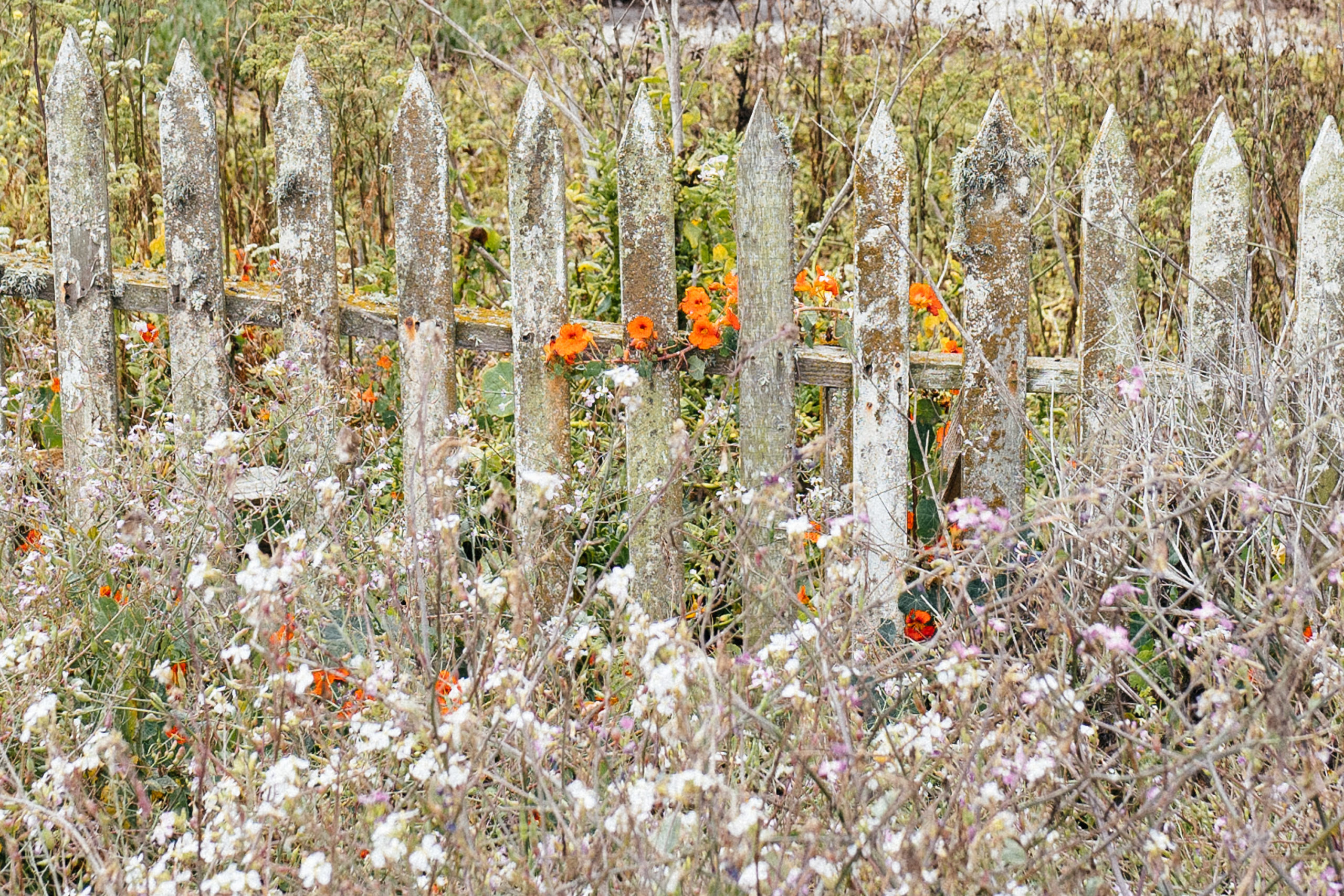 Orange poppies along a fence
